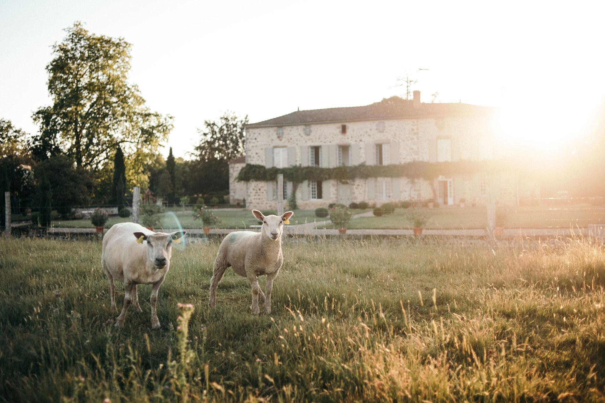 Domaine de la Partoucie- Moutons